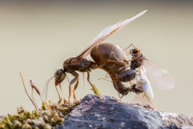 Большая крылатая самки и самцы чёрного садового муравья