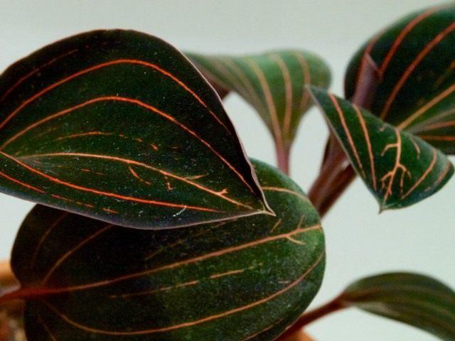 Лудизия разноцветная (ludisia discolor)