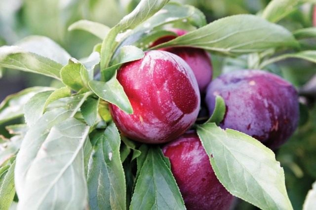 Плоды сливы