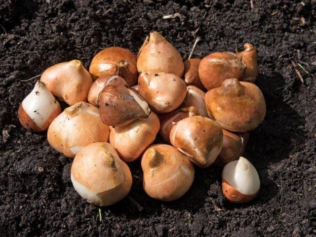 Луковицы тюльпана