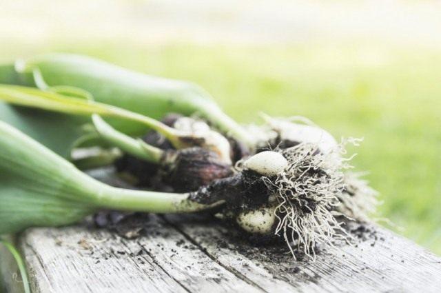 Выкопанные луковицы тюльпана с детками