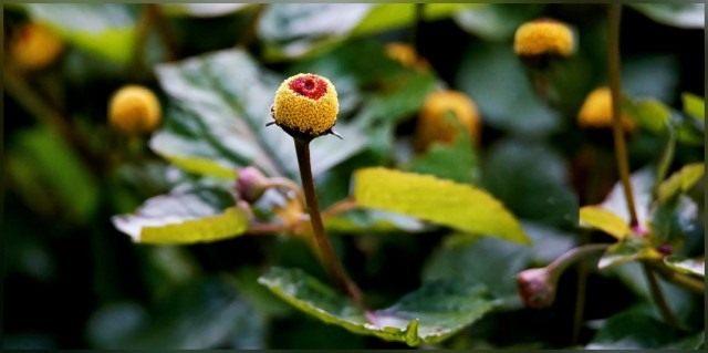 Акмелла огородная (Acmella oleracea), или Спилантес огородный (Spilanthes oleracea)