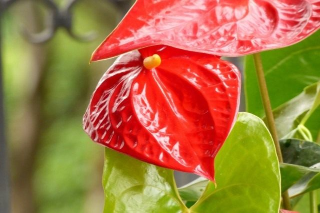 Антуриум Андре (Anthurium Andraeanum)