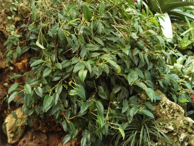 Антуриум лазящий (Anthurium scandens)