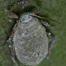 Капустная тля (Brevicoryne brassicae)