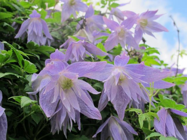 Clematis-Maidwell-Hall-01
