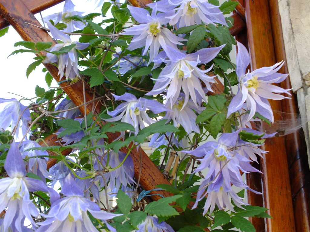 Clematis-Maidwell-Hall-02