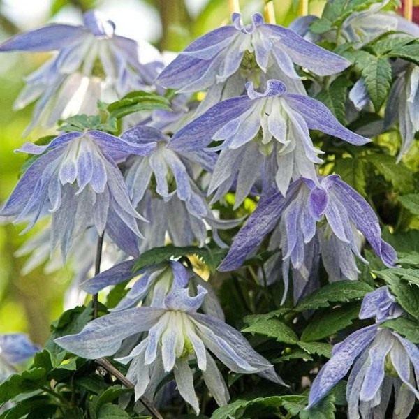 Clematis-Maidwell-Hall-03