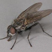 Весенняя капустная муха (Delia radicum)