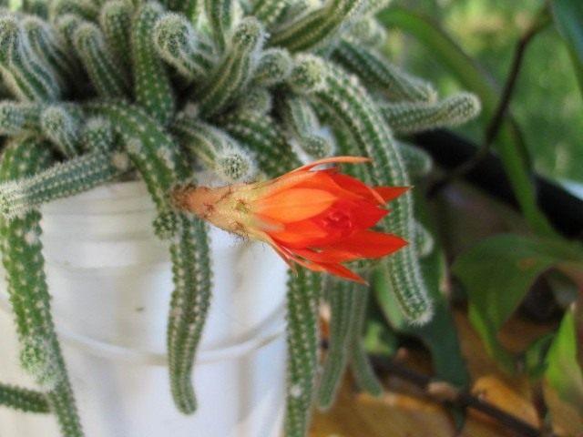 Дизокактус плетевидный (Disocactus flagelliformis) больше известен как Апорокактус плетевидный (Aporocactus flagelliformis)