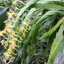 Дизокактус макрантус (Disocactus macranthus)