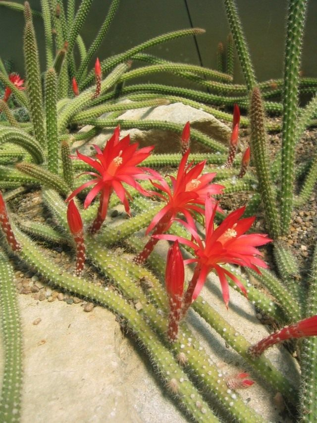 Дизокактус Мартиуса (Disocactus martianus, раньше известный как два вида — апорокактус Концатти — Aporocactus conzattii и апорокактус Мартиуса (Aporocactus martianus)