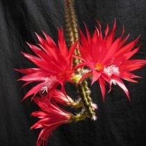Дизокактус прекрасный (Disocactus speciosus)