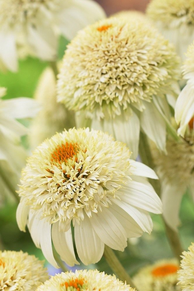 Echinacea-purpurea-Milkshake-1