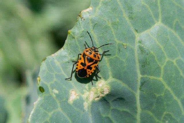 Клоп капустный (Eurydema ventralis) и признаки повреждения им капустного листа