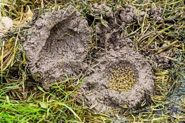 Гнездо с яйцами обыкновенной медведки