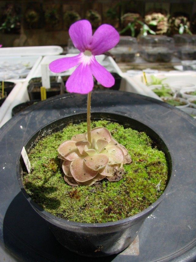 Жирянка моранская (Pinguicula moranensis)