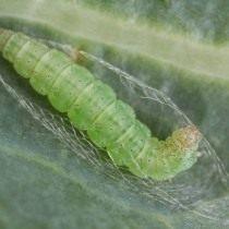 Личинка капустной моли перед окукливанием