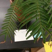 Птерис длиннолистный (Pteris longifolia)