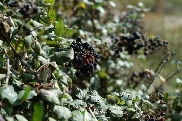 Ежевика кустистая (Rubus fruticosus)