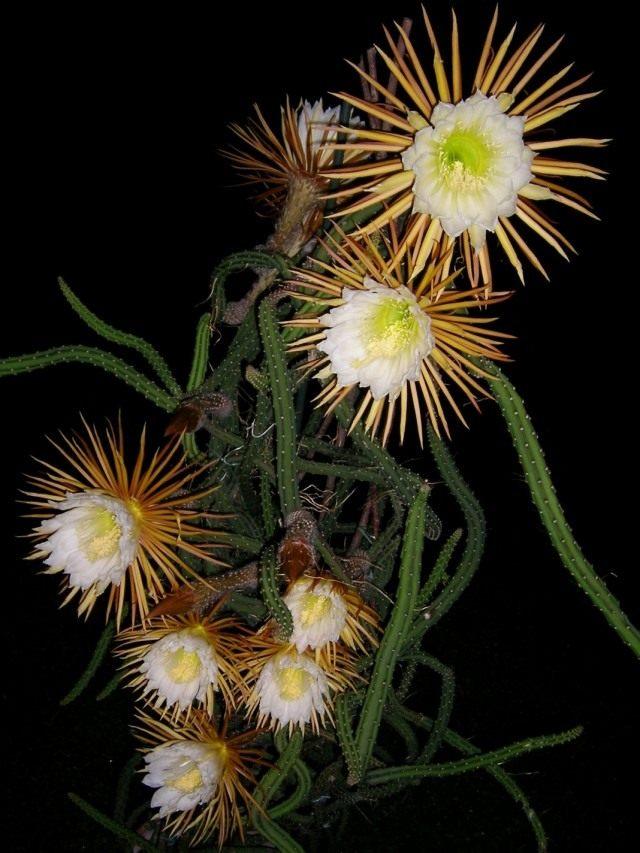 Селеницереус крылоцветковый (Selenicereus pteranthus)