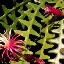 Селеницереус Энтони (Selenicereus anthonyanus)