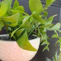 Селеницереус Золотое Сердце (Selenicereus chrysocardium)