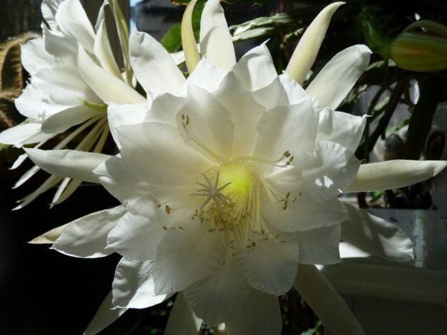 Селеницереус крупноцветковый (Selenicereus grandiflorus), или Царица ночи