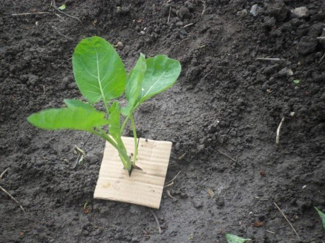 Картонный «воротничок» для защиты от личинок капустной мухи