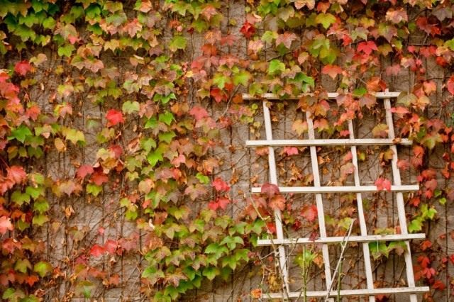 Стена увитая вьющимися растением
