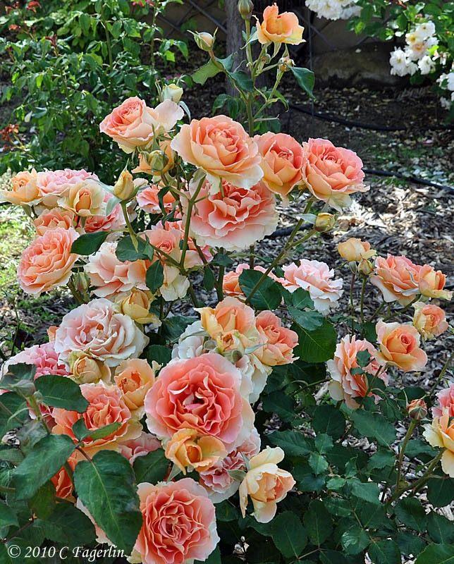 rose-Brass-Band-3