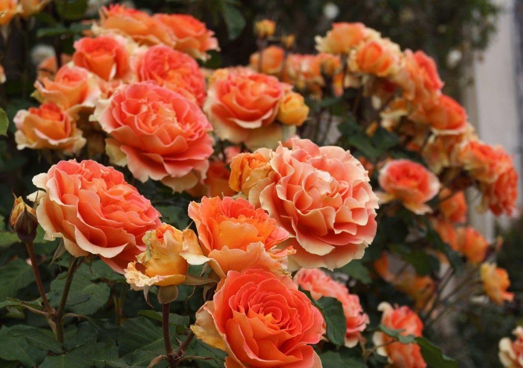 rose-Brass-Band-5