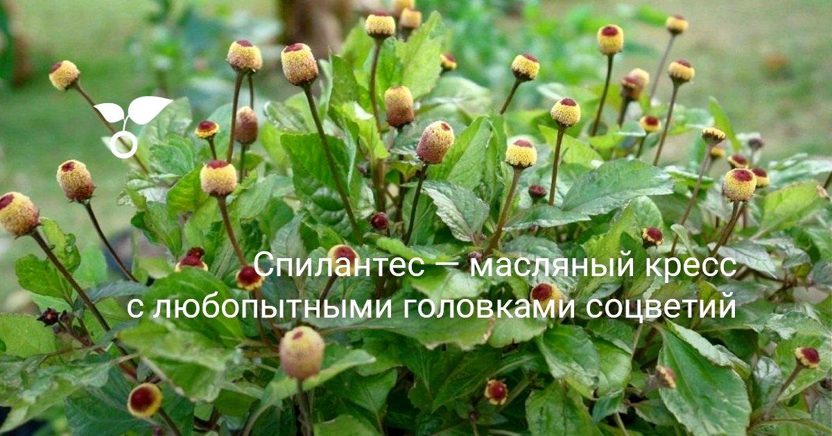 Спилантес: фото, выращивание из семян, посадка и уход