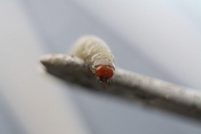 Гусеница совки озимой