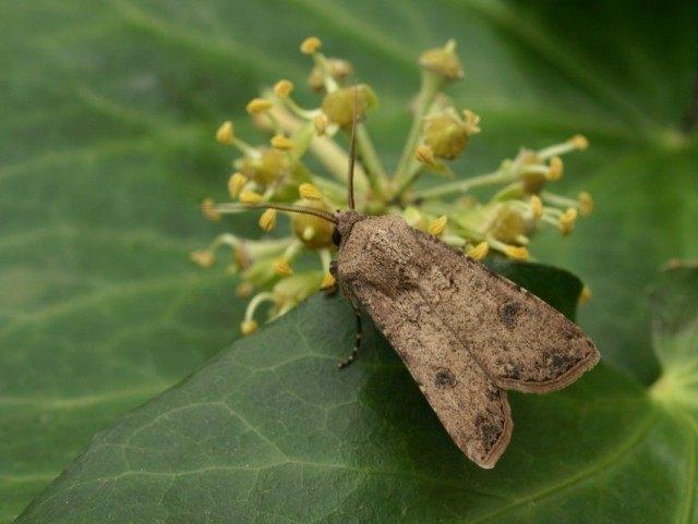 Совка озимая, или ночница озимая (Agrotis segetum)