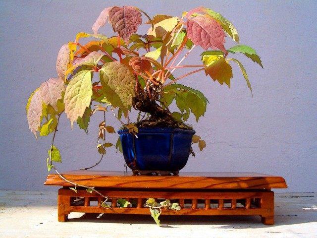 Виноградовник короткоцветоножковый (Ampelopsis brevipedunculata)