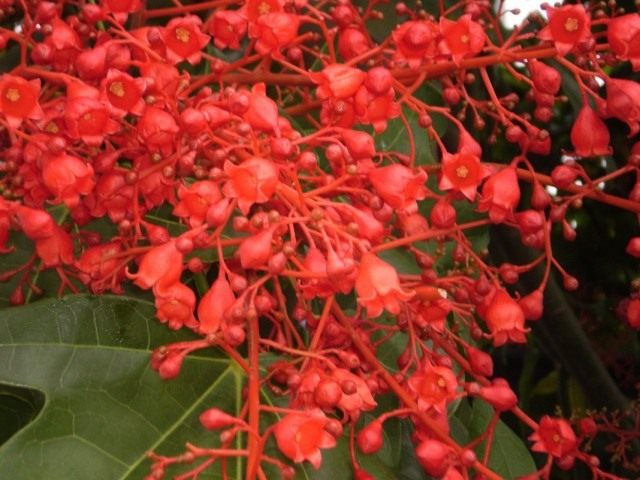 Цветки брахихитона кленолистного (Brachychiton acerifolius)