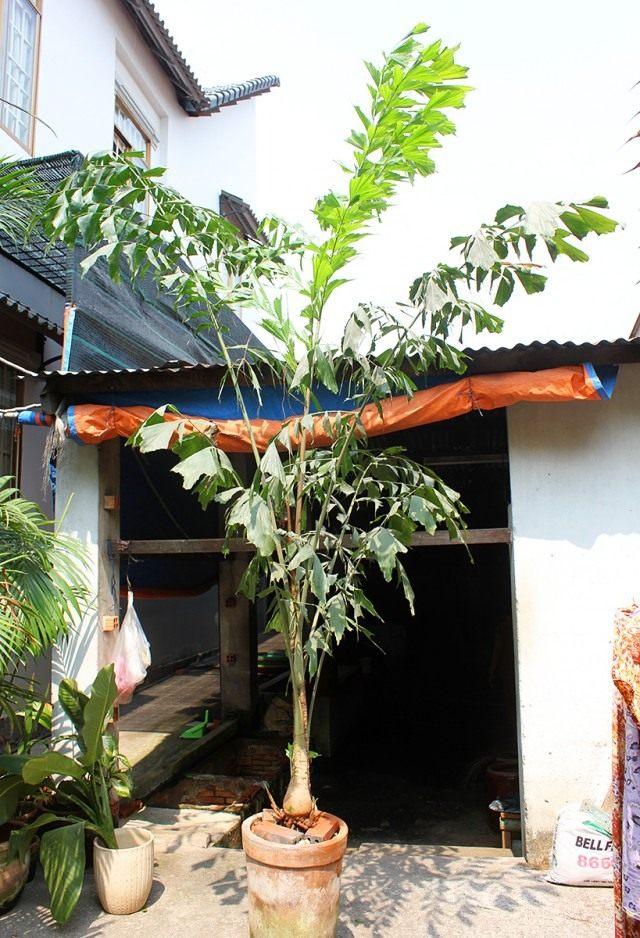 Кариота нежная, или мягкая (Caryota mitis)