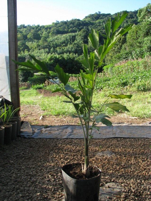 Кариота жгучая, или Винная пальма (Caryota urens)