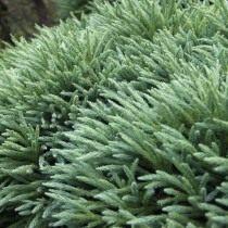 Криптомерия японская (Cryptomeria japonica)