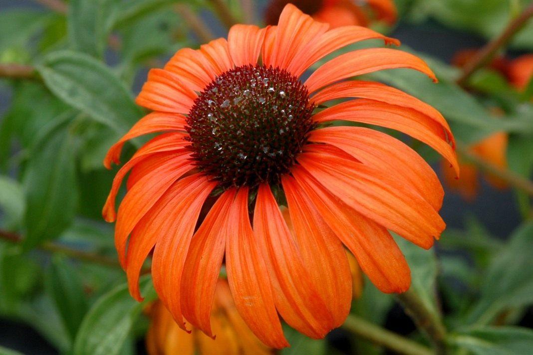 Echinacea-Tangerine-Dream-1