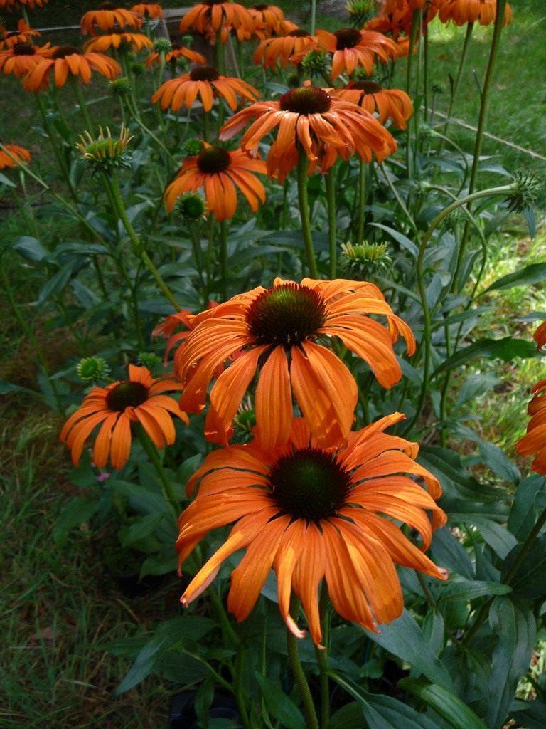 Echinacea-Tangerine-Dream-3