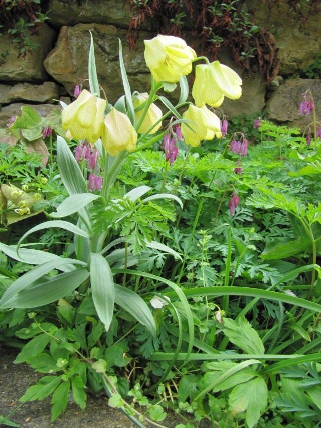 Рябчик (Fritillaria)