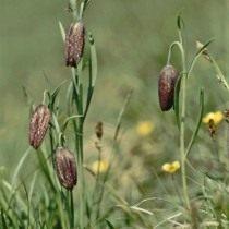 Рябчик восточный, или Рябчик тоненький (Fritillaria orientalis)