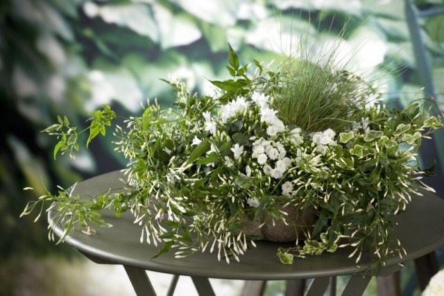 Жасмин многоцветковый (Jasminum polyanthum)