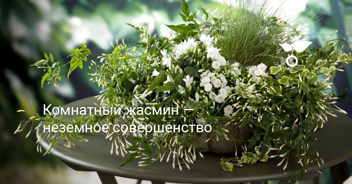 Жасмин полиантум особенности ухода за цветком в домашних условиях видео