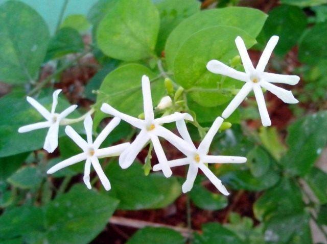 Жасмин крупноцветковый (Jasminum grandiflorum)