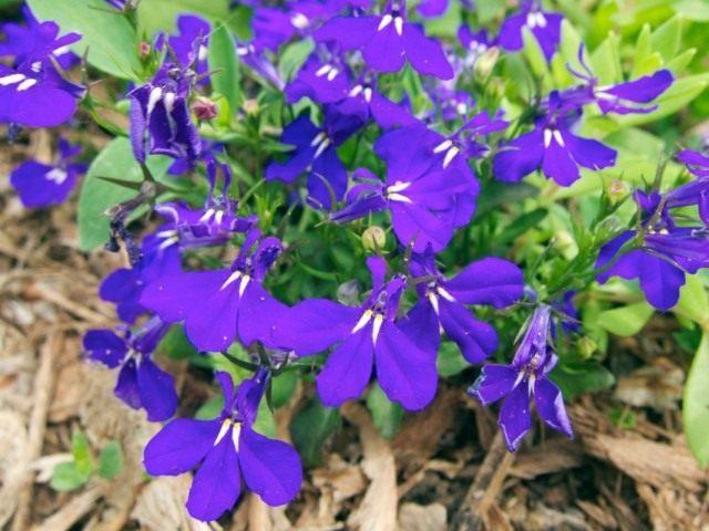 Лобелия эринус, или Лобелия длинночерешковая (Lobelia erinus)