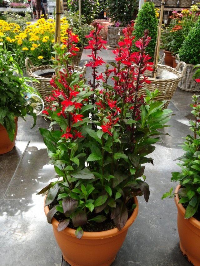 Лобелия прекрасная (Lobelia x speciosa)