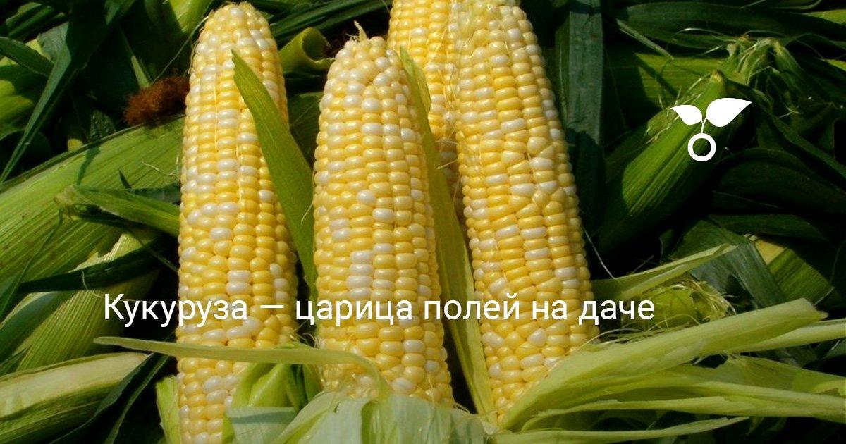 Описание сортов красной кукурузы и агротехника культуры